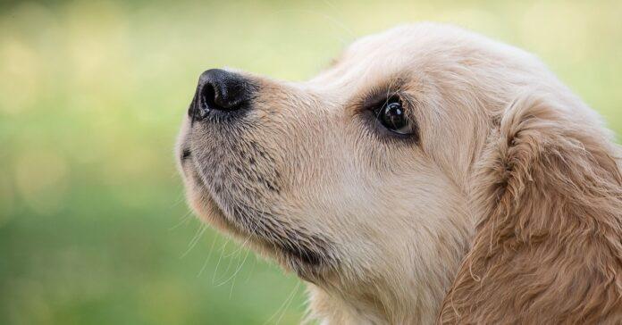 Golden Retriever scambia le pantofole per cuccioli di cane