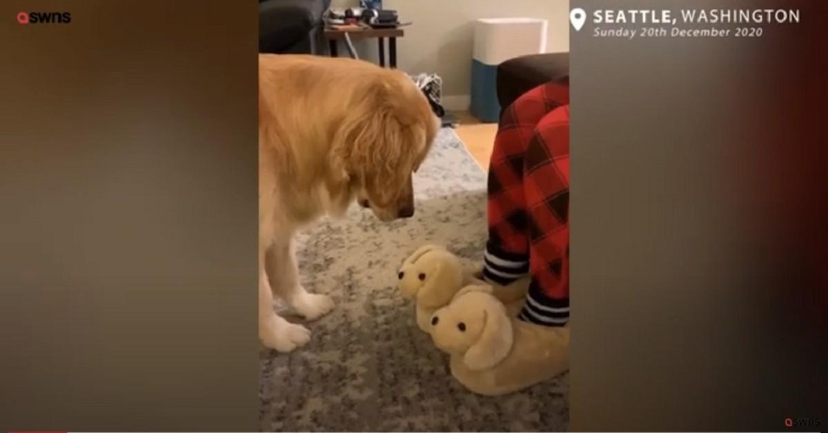 Molly, la dolce Golden Retriever scambia le pantofole per cuccioli di cane (VIDEO)
