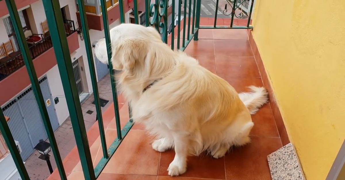 Un Golden Retriever sente la mancanza dei propri padroni (VIDEO)