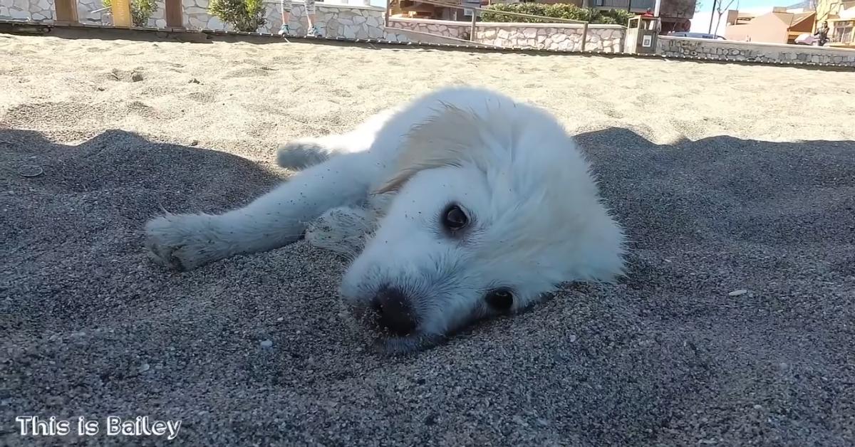 Un Golden Retriever va in spiaggia per la prima volta con i suoi padroni (VIDEO)