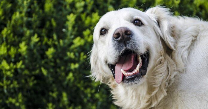 Golden retriever e il cucciolo di bassotto diventano subito migliori amici