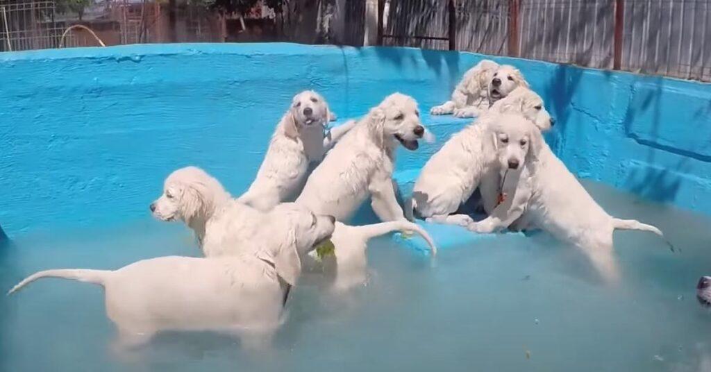 I cuccioli di Golden Retriever imparano a nuotare nella loro nuova piscina (video)