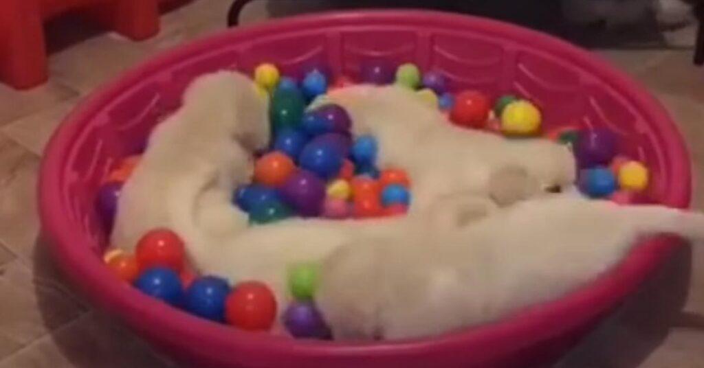 Cuccioli di Golden Retriever che giocano