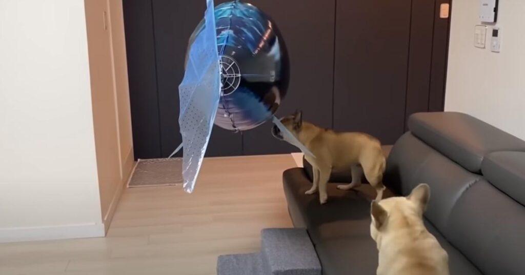 I due Bulldog Francesi affrontano un palloncino a forma di squalo (video)