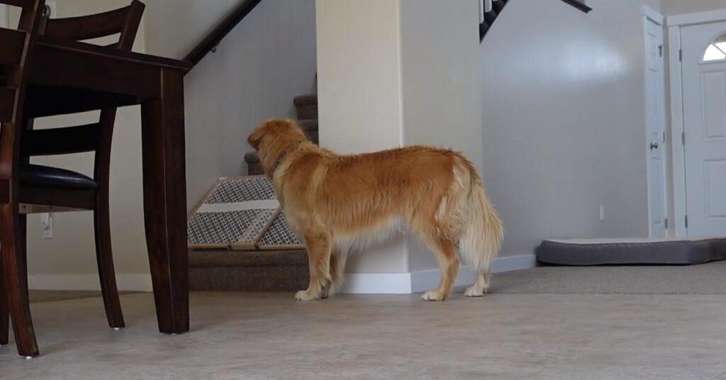 I due Husky e i due Golden Retriever restano da soli in casa e il risultato è tutto da ridere (video)