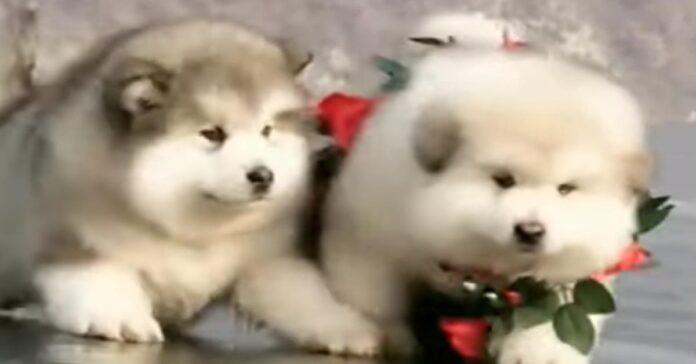 Cuccioli di Chow Chow felici