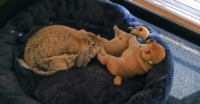 Cuccioli di Shiba Inu con un coniglio