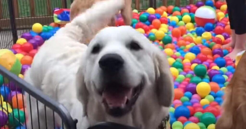 I tre Golden Retriever ricevono una bellissima festa a sorpresa per il compleanno (video)