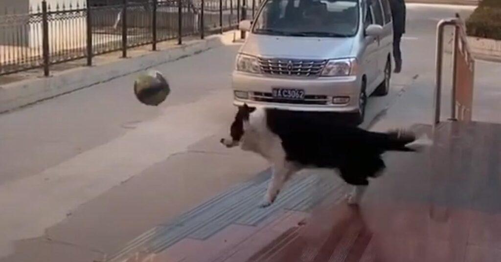 Il Border Collie adora giocare a pallavolo con il suo padrone (video)
