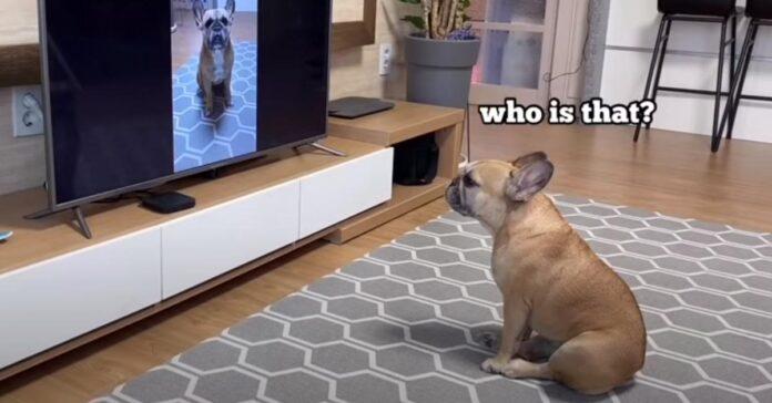 Bulldog Francese che guarda la tv