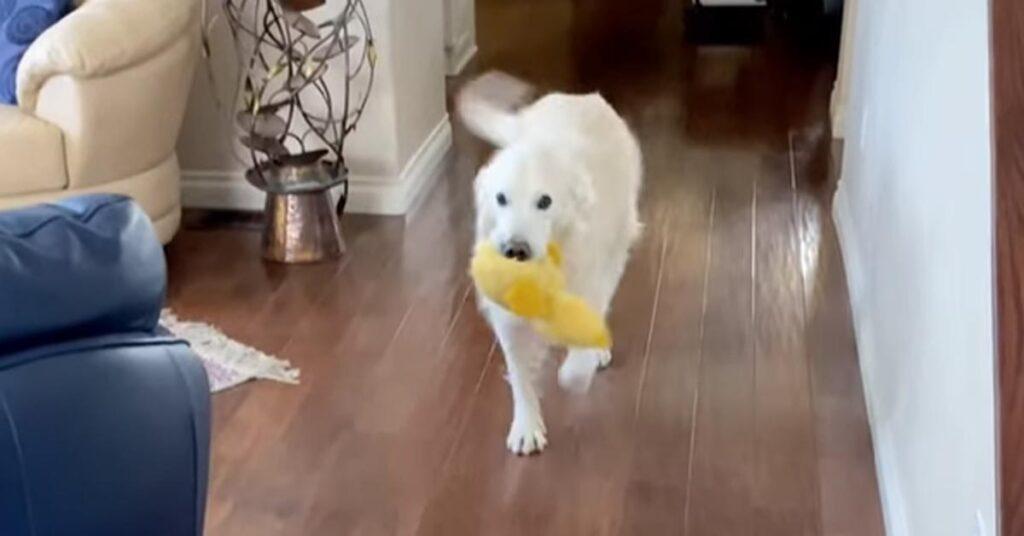 Golden Retriever che gioca