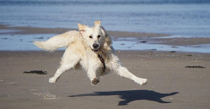Golden Retriever felice al mare