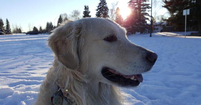 Golden Retriever nella neve