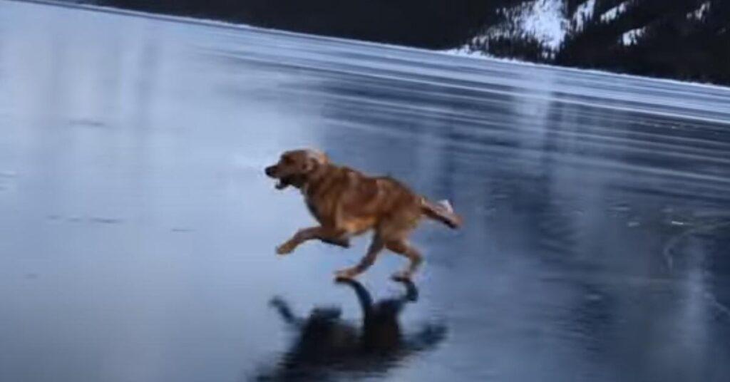 """Il Golden Retriever è felicissimo di """"pattinare"""" sul ghiaccio (video)"""