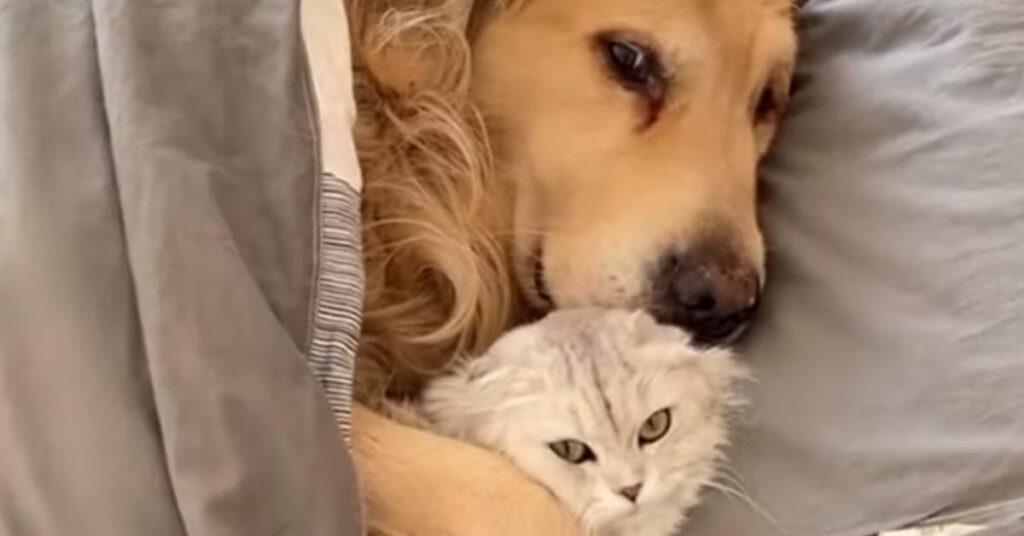 Il Golden Retriever e i gattini dormono teneramente rannicchiati nel letto (video)