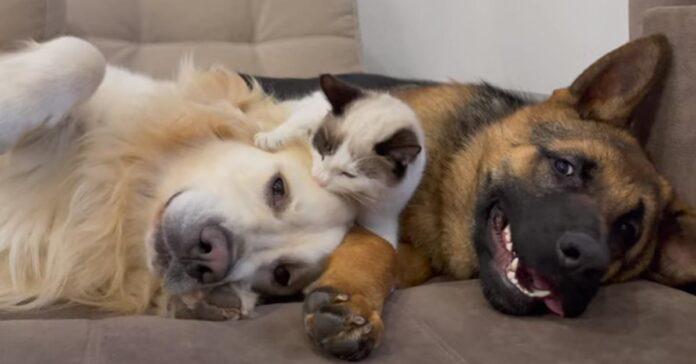 Golden Retriever con un Pastore Tedesco e un gattino