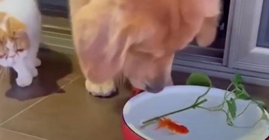 Golden Retriever con un pesciolino