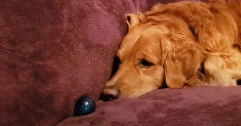 Golden Retriever che si riposa