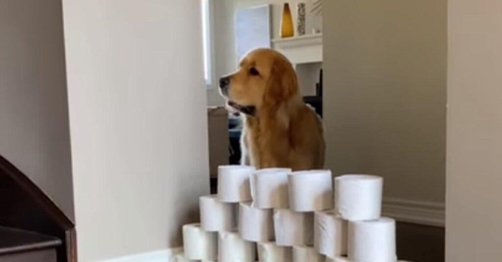 Golden Retriever che affronta il salto dei rotoli della carta igienica