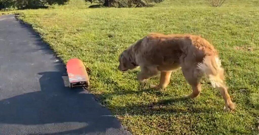 Golden Retriever che osserva uno skateboard