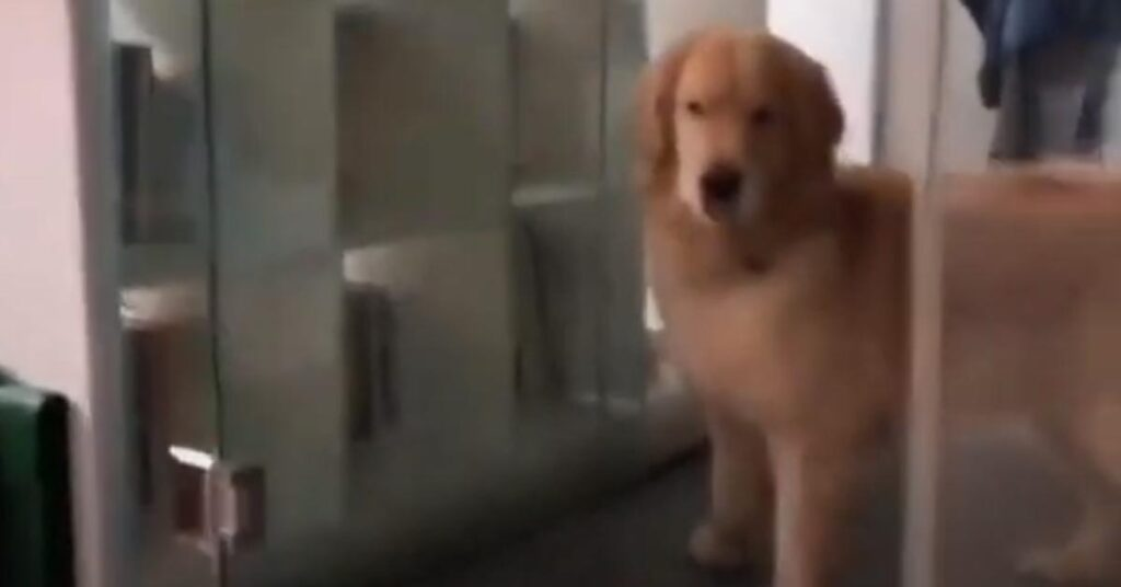Il Golden Retriever non sa come uscire dalla doccia anche se la porta è aperta (video)