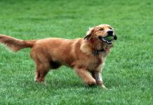 Golden Retriever buste video