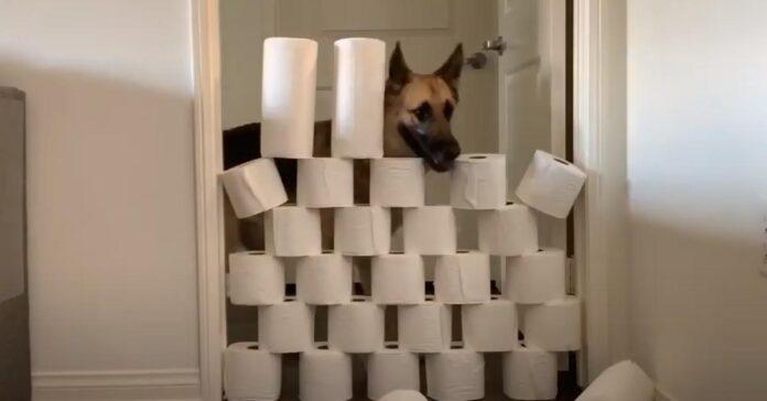 Pastore Tedesco muro carta igienica