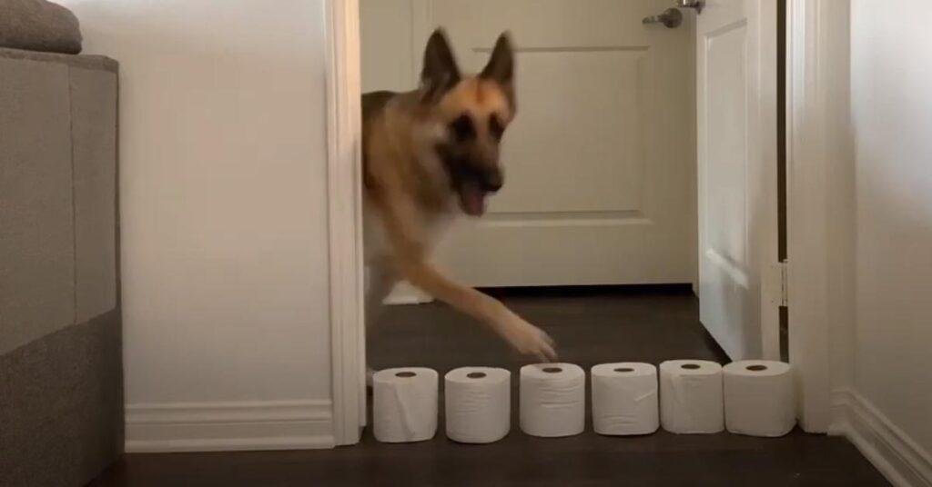 Il Pastore Tedesco affronta la sfida del muro di rotoli di carta igienica (video)