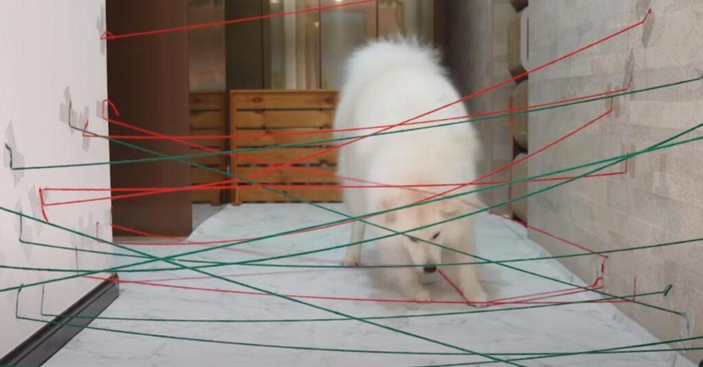 Il Samoiedo e i gattini si sfidano in una vera mission impossible (video)