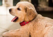 Cucciolo di Golden Retriever felice