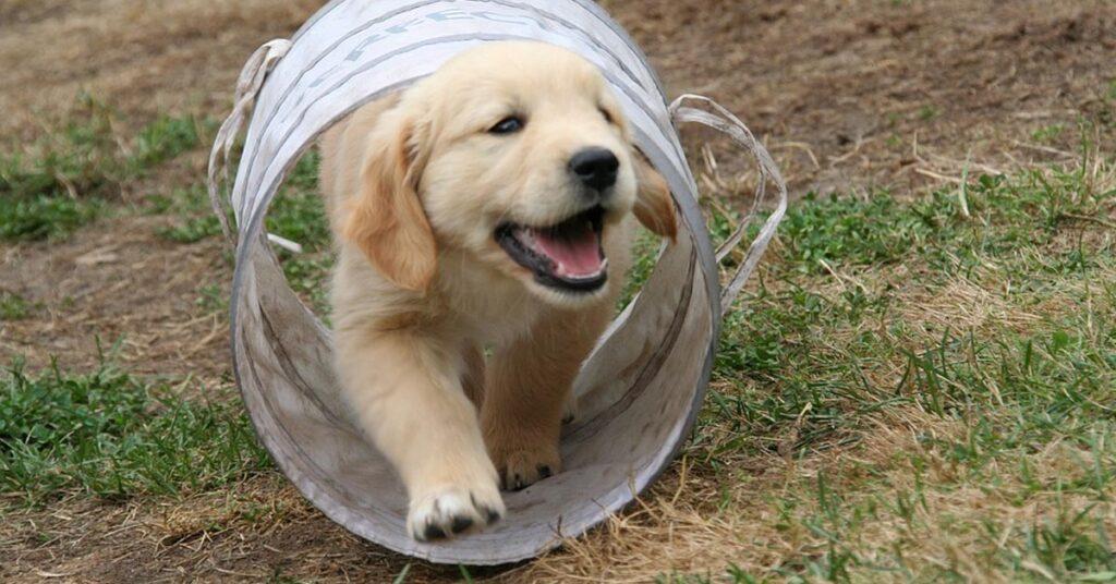 Il cucciolo di Golden Retriever Scotty è innamorato del suo maialino di gomma (video)