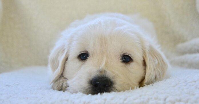 Cucciolo di Golden Retriever su un letto
