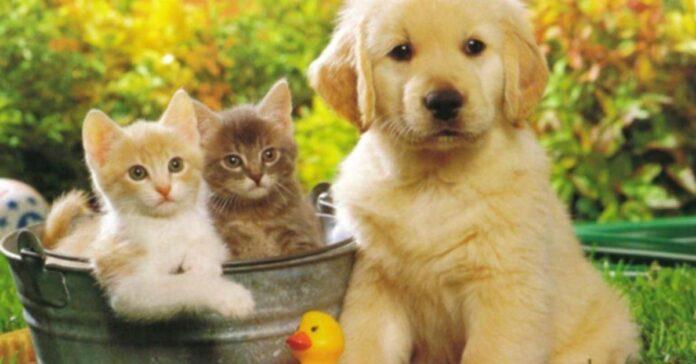 Cucciolo di Golden Retriever con due gattini