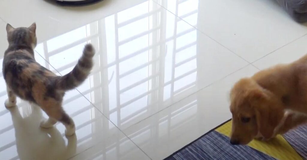 Cucciolo di Golden Retriever con un gatto