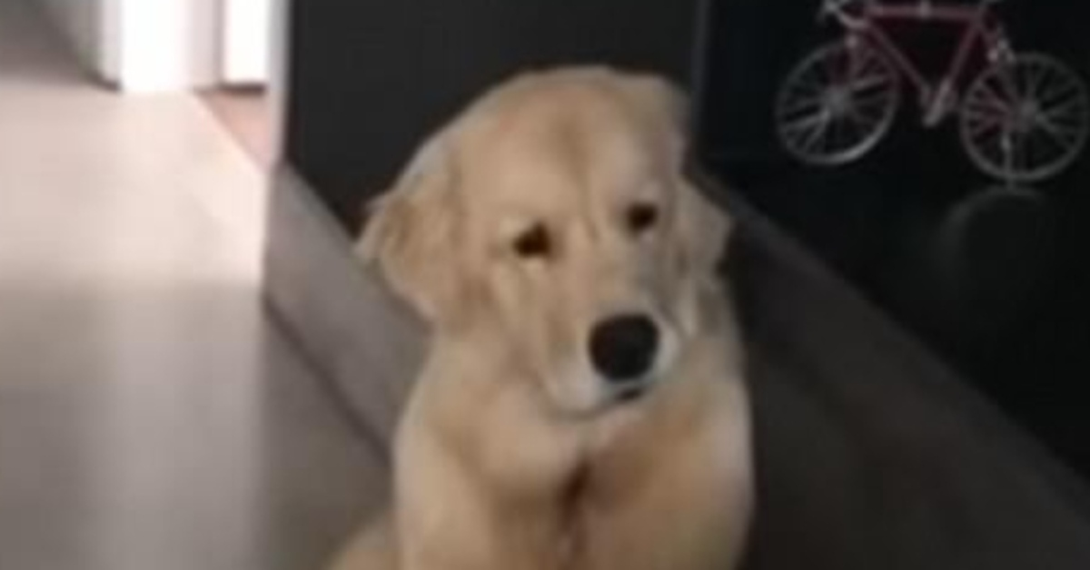cucciolo Golden Retriever video