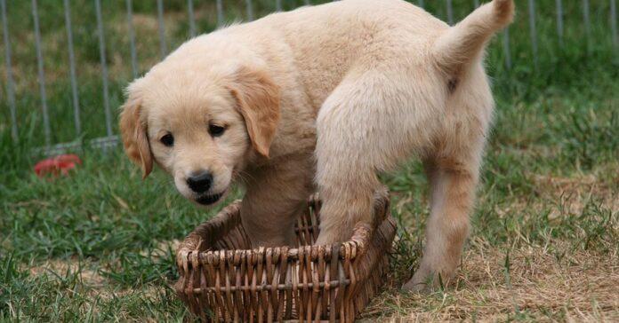 Cucciolo di Golden Retriever che gioca