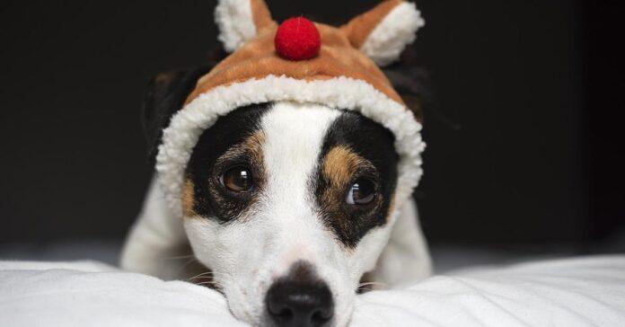 Cucciolo di Jack Russel con un cappellino