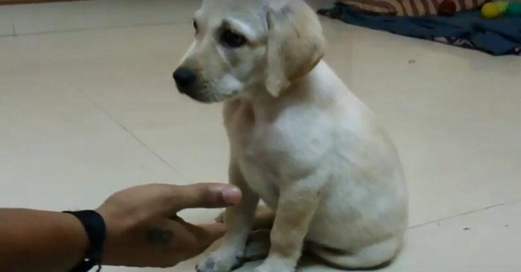 Cucciolo di Labrador osserva