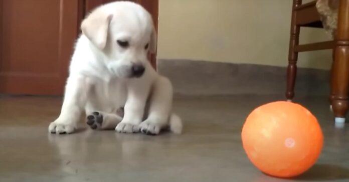 Cucciolo di Labrador che gioca