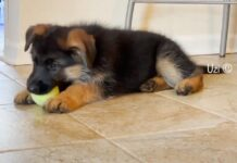 Cucciolo di Pastore Tedesco gioca con una pallina