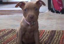 Cucciolo di Pitbull che osserva