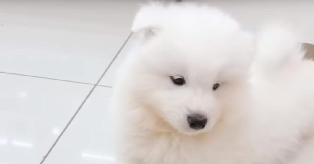 Il cucciolo di Samoiedo ha imparato a dare la zampa alla proprietaria (video)