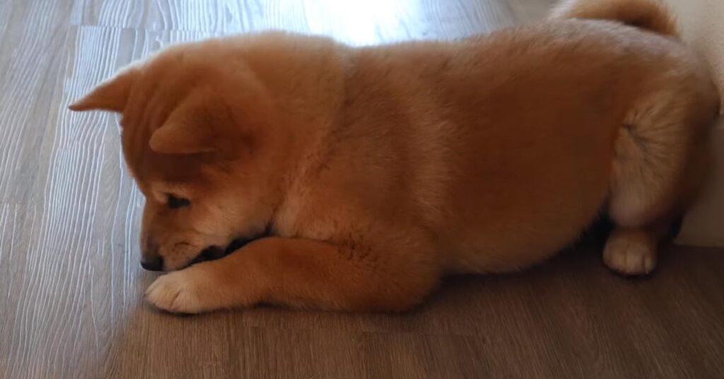 Il cucciolo di Shiba Inu ha una reazione tutta da ridere di fronte al nuovo cibo (video)