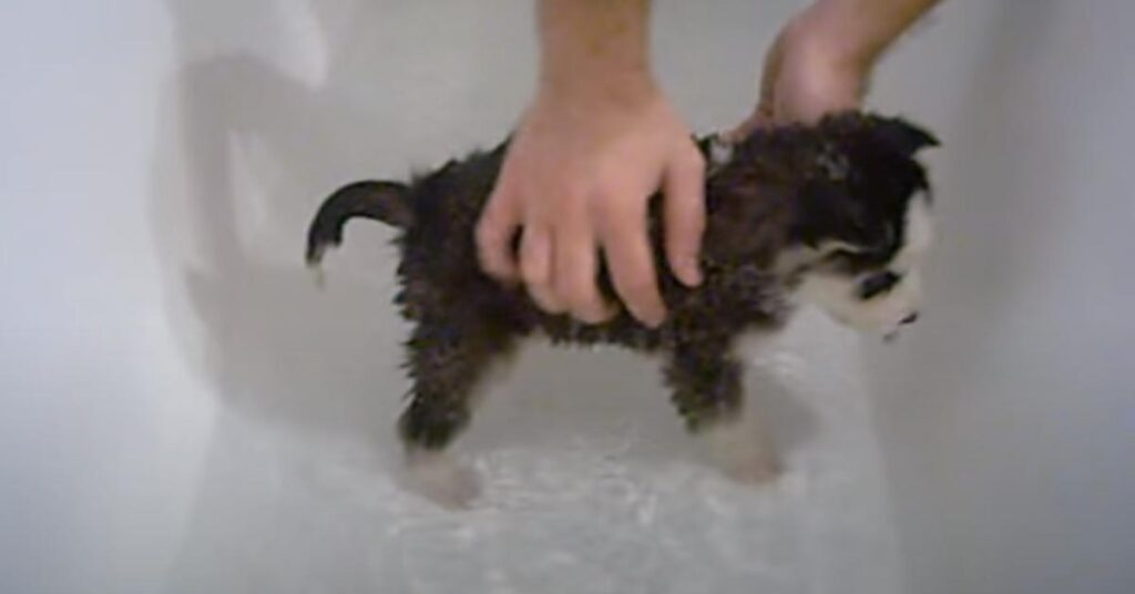 Cucciolo di Siberian Husky fa il bagno