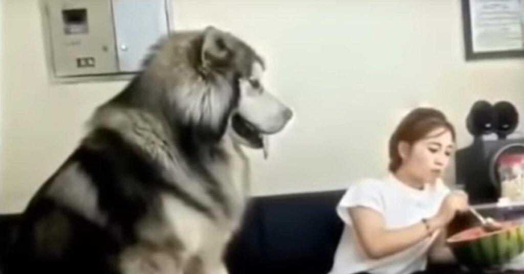 Il gigantesco Alaskan Malamute si sente ignorato e chiede attenzioni (video)