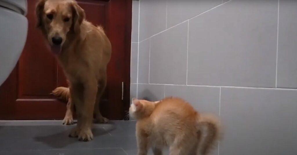 Golden Retriever con un gatto