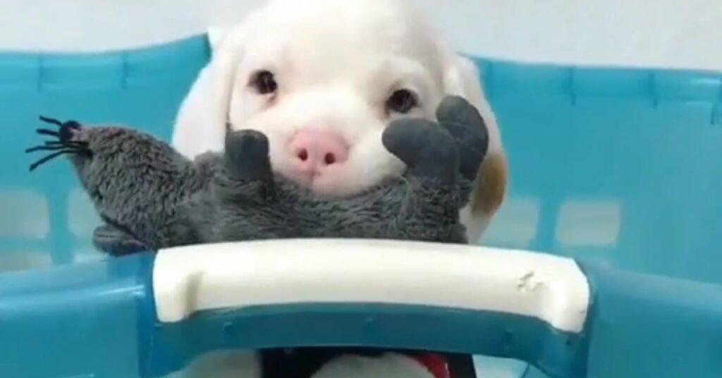 Il tenerissimo cucciolo di Beagle è innamorato del suo giocattolo preferito (video)