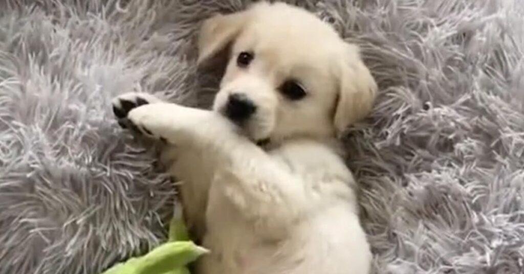 Il tenero cucciolo di Golden Retriever è felice di giocare con il suo padrone (video)