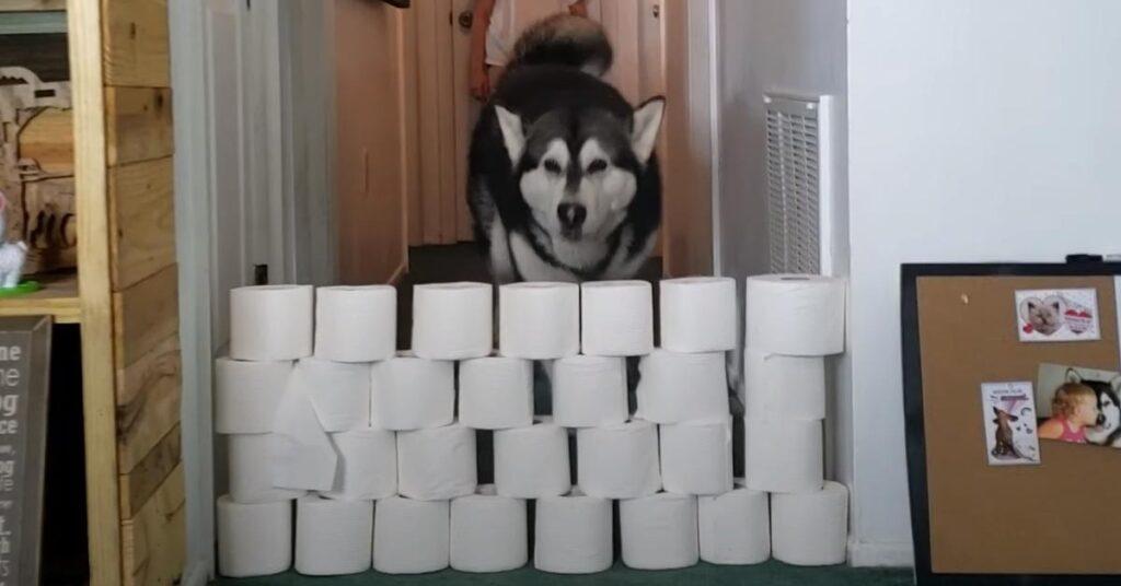Alaskan Malamute salta rotoli di carta igienica