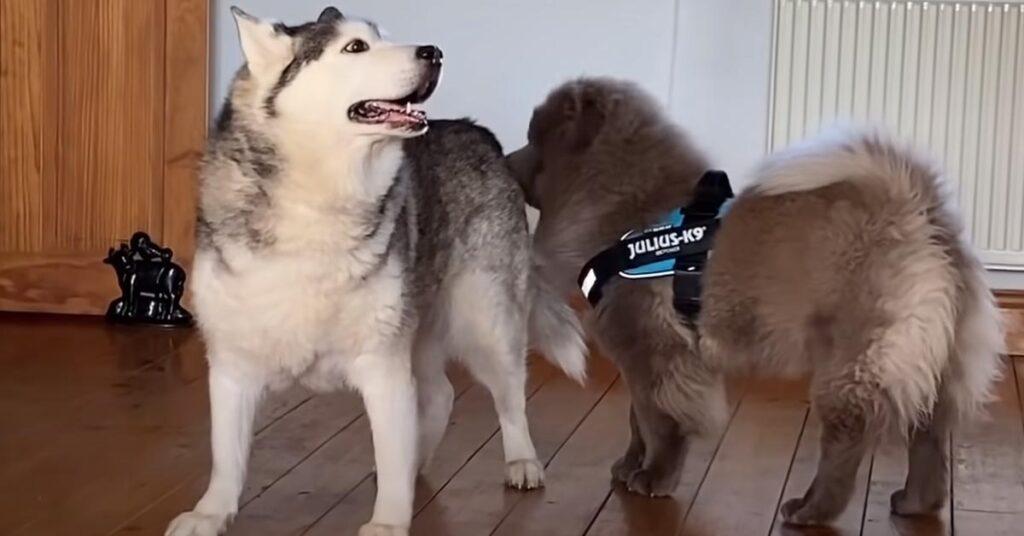 Husky con un cucciolo di Chow Chow